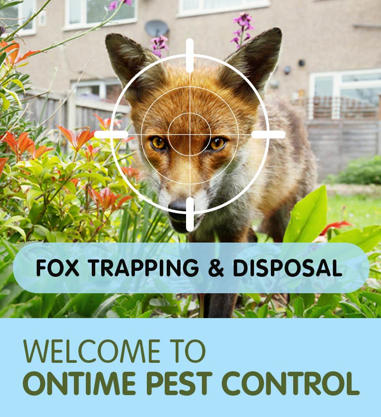 Fox Trapping & Fox Removal in Hammersmith SW10 & throughout South West London