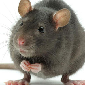 Pest Control For Rodents In Longford