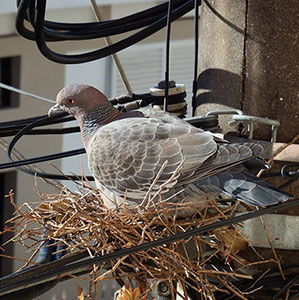 Call our Pigeon Control team for guidance on how to get rid of Pigeons from your home or business premises anywhere throughout West London, Twickenham or Kingston.
