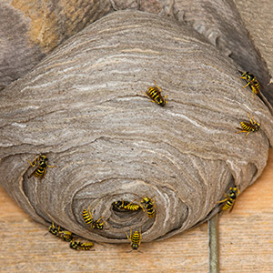 On Time Pest Control offers 24 hour Wasp Nest Removal Services for houses and business premises throughout West London, South West London, Twickenham, Kingston and Richmond