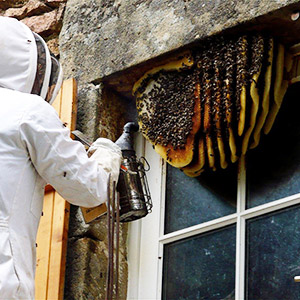 Do not attempt to remove Bee nests without professional help from humane Bee controllers!