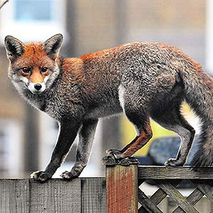 24 Hour Humane Fox Trap Installation & Fox Removal for West London Properties