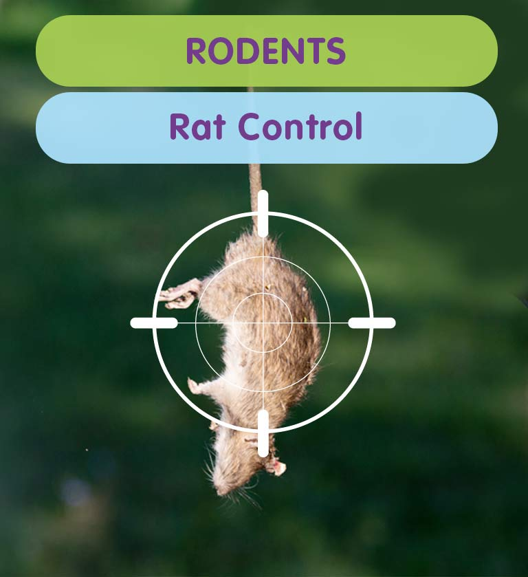 Get rid of a Rats from your West London property
