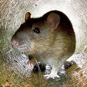 Rat Control & Rat Proofing Methods for your Home or Commercial Property